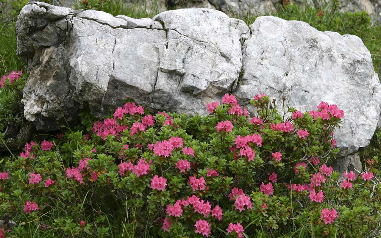 Bush of pink flowers and a rock behind