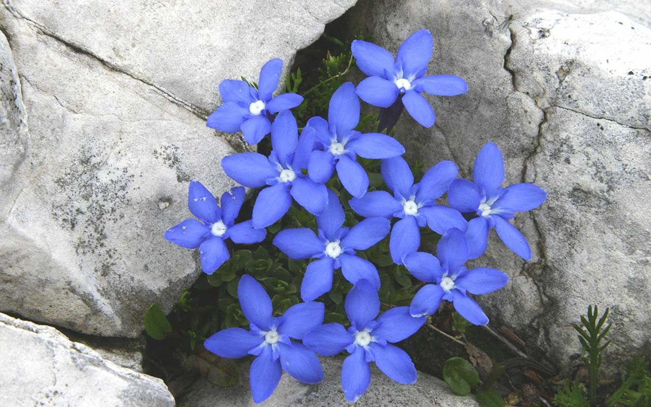 Little blue flowers growing surrounded by the rocks