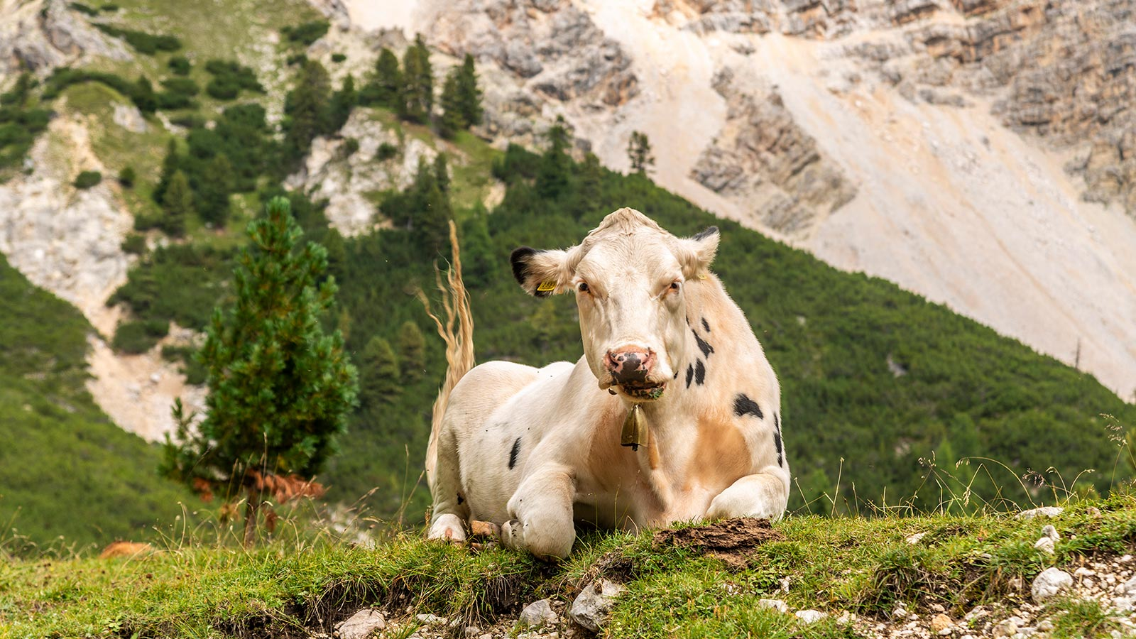 A cow sits on the grass in the Fanes-Senes-Braies Natural Park